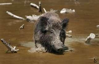 WILD BOAR Wild Hogs Razerback animal figure Japan gift