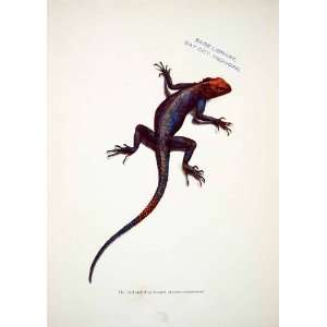 1906 Color Print Red Blue Lizard Liberia Africa Wildlife