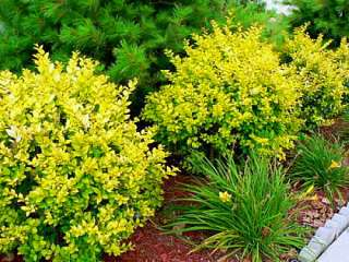 Golden Vicary Privet   Ligustrum   Easy to Grow   Potted