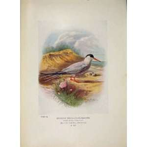 Common Tern Colour Antique Old Print Bird Egg Fine Art