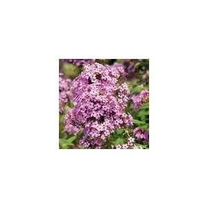 Hardy Garden Phlox Jeana Plant: Patio, Lawn & Garden