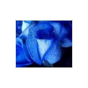 Jillian Livingston Rose Seeds Packet Patio, Lawn & Garden