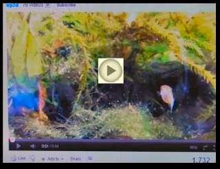 Gulf Coast Pygmy Sunfish   Live fish rare freshwater fish aquarium