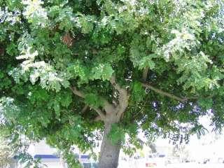 CAROB TREE Ceratonia Siliqua   5+EXTRA seeds. FAST GROWER