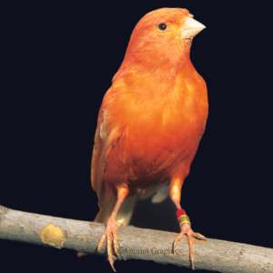 Red Factor Canary   Bird   Live Pet